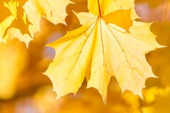 Yellow autumn maple leaf stock images