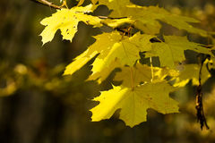 Yellow autumn maple leafs Stock Photography