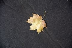 Yellow autumn maple leave. On wet asphalt road stock images