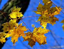 Yellow autumn maple leaves Royalty Free Stock Photo