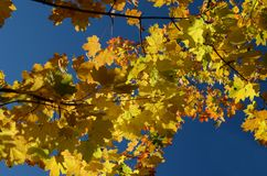 yellow autumn Maple leaves against the blue sky stock photos