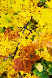 Yellow autumn maple leaves Royalty Free Stock Images