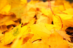 Yellow autumn maple leaves fallen Stock Photography