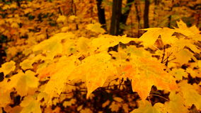 Yellow Autumn Maple Leaves stock video footage