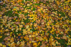 Yellow autumn maple leaves on green grass Royalty Free Stock Image