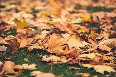 Yellow autumn Maple leaves on green grass. Blurred wind background Stock Images