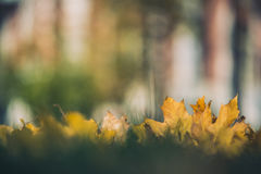 Yellow autumn Maple leaves on green grass. Bokeh blurred artistic background.  Royalty Free Stock Photos