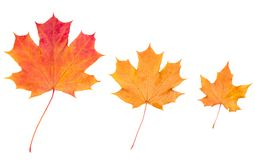 Yellow autumn maple leaves Stock Image