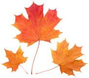 Yellow autumn maple leaves Stock Photos