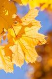 Yellow autumn maple leaves stock photo