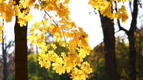 Yellow autumn maple leaves swaying in the wind. On a bright sunny day stock footage