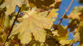 Yellow autumn maple leaves in the wind stock video