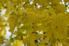 Yellow autumn maple leaves stock photo