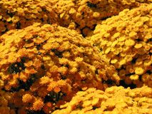 Yellow autumn mums Royalty Free Stock Photo