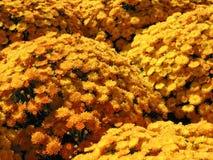 Yellow autumn mums royalty free stock photo