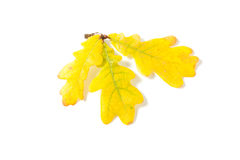 Yellow autumn oak leaf Royalty Free Stock Photo