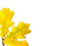 Yellow autumn oak leaf Royalty Free Stock Photography