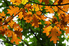 Yellow autumn oak leaves. Against green leaves background royalty free illustration