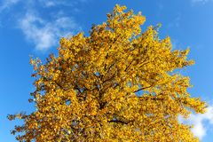 Yellow autumn poplar foliage. Against the sky Royalty Free Stock Images