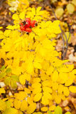 Yellow autumn rose and red rosehip Stock Photo