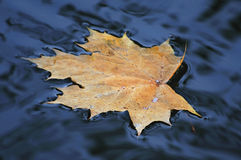 Yellow autumn sheet on water Royalty Free Stock Images