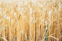 Yellow autumn summer ears of wheat field. Selected focus golden Golden wheat ear sunshine royalty free stock photos