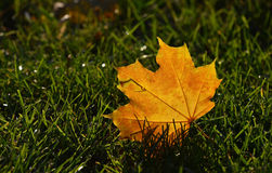 Yellow autumn sunshine maple leaf in green grass Stock Images