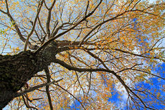 Yellow autumn tree Royalty Free Stock Photography