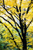 Yellow Autumn Tree stock photos
