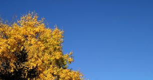 Yellow Autumn Tree. Yellow autoumn tree with blue sky in the background Royalty Free Stock Photo