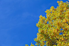 Yellow autumn tree and blue sky frame background Royalty Free Stock Photo
