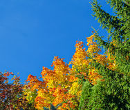 Yellow autumn tree and blue sky frame background Stock Photography