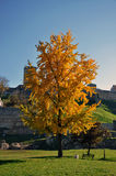 Yellow autumn tree in the city park Stock Photos