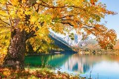 Yellow autumn tree on the coast of lake. Yellow autumn tree on the coast of mountain lake. Vorderer Langbathsee, Austria Royalty Free Stock Photos