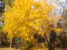 Yellow autumn tree stock photography