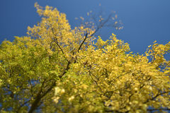 Yellow Autumn tree Stock Image