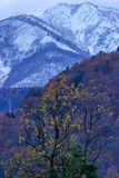 Yellow autumn tree with autumn forest in back ground and white snowy high mountain stock image