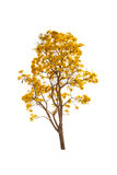 Yellow autumn tree isolated Royalty Free Stock Image