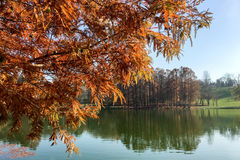 Yellow Autumn Tree On Lake Water Background Stock Images