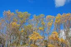 Yellow autumn  tree leaves against a beautiful blue sky Royalty Free Stock Image