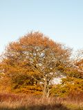Yellow autumn tree leaves background texture branches trunk. Essex; england; uk Royalty Free Stock Photos