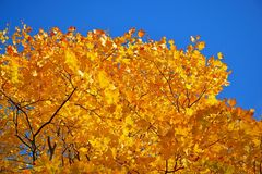 Yellow autumn tree leaves lit by the sun against the blue sky. Parks and urban landscape Royalty Free Stock Image