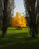 Yellow autumn. Autumn yellow tree in the park royalty free stock images