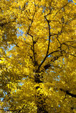 Yellow autumn tree view from below Royalty Free Stock Image