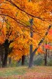 Yellow autumn trees Stock Images