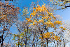 Yellow autumn trees on clear blue sky background Stock Photography