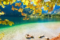Yellow autumn trees on the coast of lake. Yellow autumn trees on the coast of Vorderer Langbathsee lake in Austrian Alps Royalty Free Stock Images