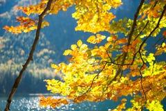 Yellow autumn trees on the coast of lake. Yellow autumn trees on the coast of mountain lake. Selective focus Royalty Free Stock Photography
