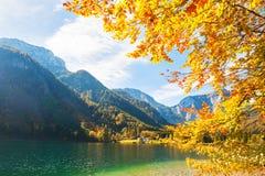 Yellow autumn trees on the coast of lake. Yellow autumn trees on the coast of Vorderer Langbathsee lake in Austrian Alps Stock Photography