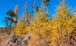 Yellow autumn trees Stock Image